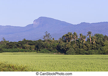 thai rice field with mountain