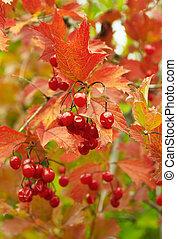 Viburnum - Gifts of autumn.Viburnum