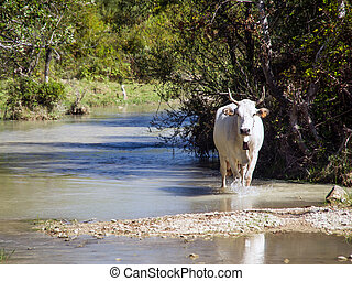cow walking in nature