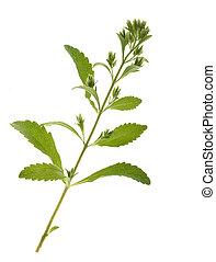 Stevia,