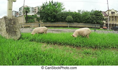 Pigs in city - Pigs roam freely on city streets