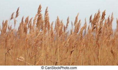 stalks of grass landscape marsh dry autumn background nature...