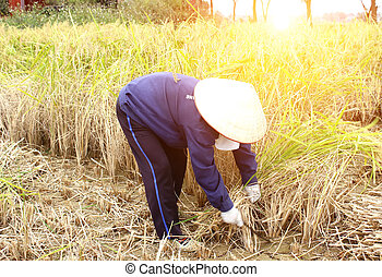 Vietnamese woman farmer harvest on a rice field