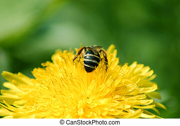 honey bee - Macro photo of honey bee collecting pollen
