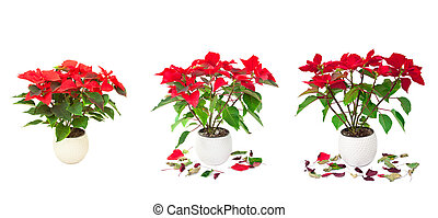 set of red Poinsettia isolated images