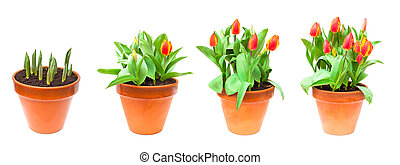 set of isolated images tulips in the pot