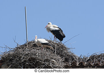 White stork, Ciconia ciconia on the nest Photo taken in Soto...