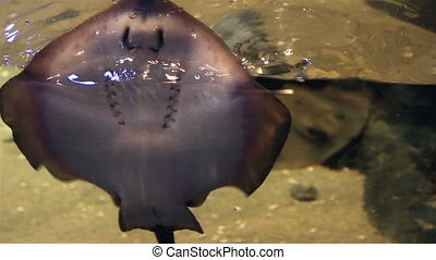 Ocellate river stingray. - Ocellate river stingray in...