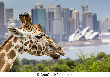 SYDNEY, AUSTRALIA - DECEMBER 27, 2015. Giraffes at Taronga...
