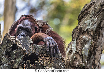 The adult male of the Orangutan in the wild nature Island...