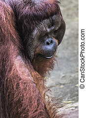 The adult male of the Orangutan in the wild nature. Island Borneo. Indonesia.