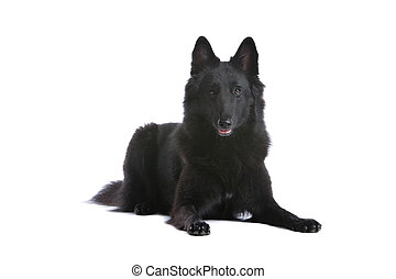 belgian black shepherd dog lying, isolated on a white...