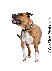 american staffordshire terrier dog isolated on a white...