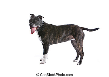 american staffordshire terrier dog - side view of an...