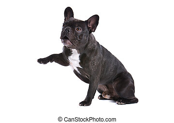 french bulldog frenchie sitting e