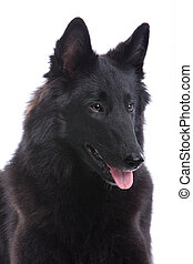 belgian black shepherd dog - head of belgian black shepherd...