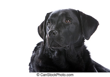 black labrador retriever dog - head of black labrador...