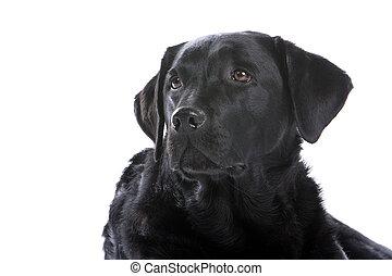 black labrador retriever dog - head of black labrador...