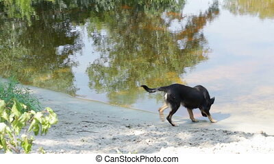 The dog drinks water from the river. - Cheerful black a...