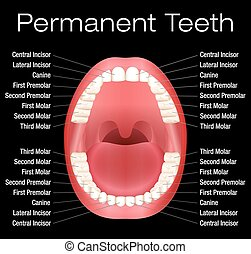 Adult Teeth Names - Adult teeth with names. Vector...