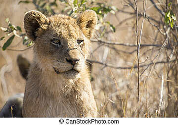 Close-up portrait  of a lion cub sitting in long grass