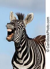 Laughing Zebra - Zebra with mouth open looking like it is...