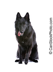 belgian black shepherd dog - front view of a belgian black...