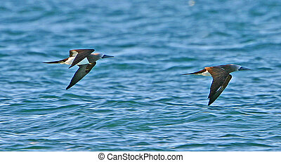 Brown Booby - Sula leucogaster - Sea of Cortez