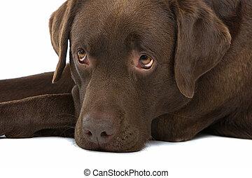 head of a chocolate labrador