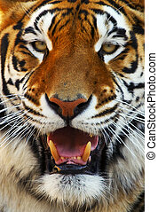 Tiger Face - Close up of a tigers face