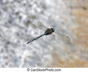 Blue dragonfly flying, a gray rock in the background