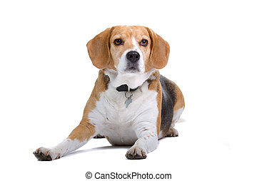 beagle dog lying on the floor, isolated on a white...