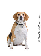 beagle dog sitting and looking at camera