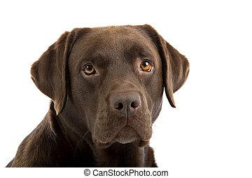 head of a labrador retriever - Head of a Chocolate Labrador...