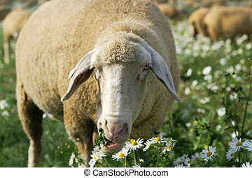 Munching sheep - Herd of sheep munching fresh camomile in a...