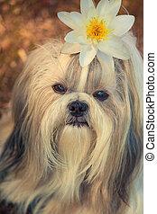 Shih tzu dog with lily flower portrait.