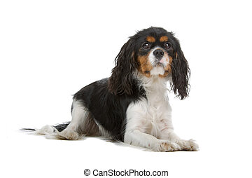 cavalier king charles spaniel dog isolated on a white...