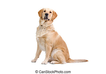 golden retriever dog - side view of a golden retriever dog...