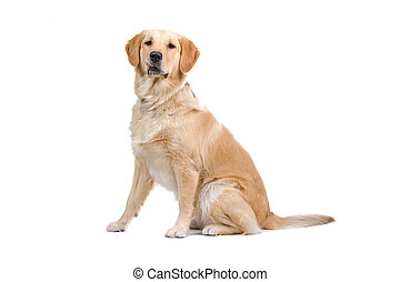 golden retriever dog - side view of golden retriever dog...
