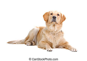 golden retriever dog isolated on a white background