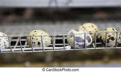 quails in cages at poultry farm during feeding