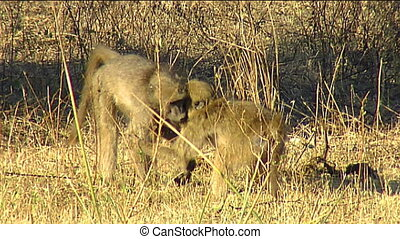 Chacma baboon youngsters wrestle - Chacma baboon (Papio...