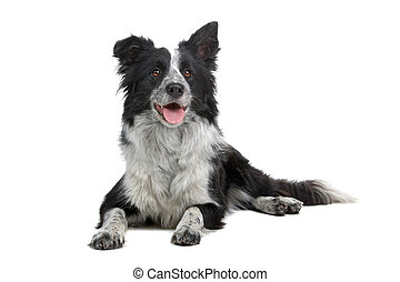 border collie sheepdog  sticking out tongue