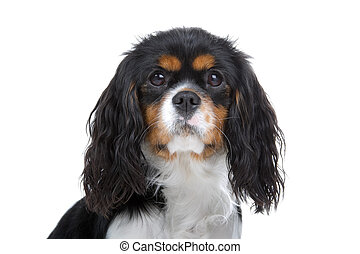 cavalier king charles spaniel dog - head of a cavalier king...