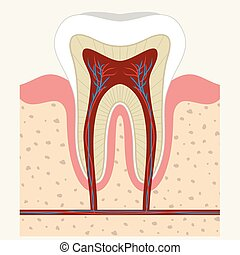 Human tooth and gum anatomy - Human tooth and gum in a cross...