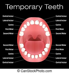 Primary Teeth Names - Temporary teeth with names Vector...