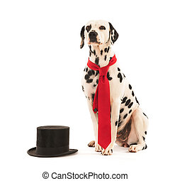 Dog as groom - Dalmatian dog as groom for the wedding...
