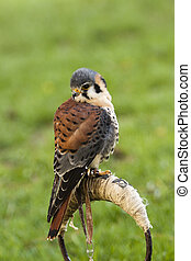 kestrel bird with green background