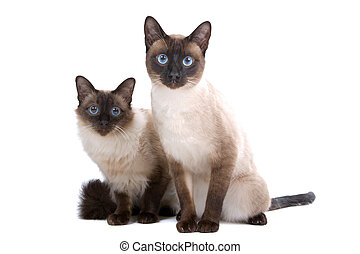 two cute siamese cats - two siamese cats sitting and looking...