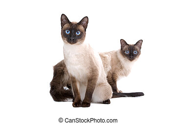 two cute siamese cats - two siamese cats isolated on a white...